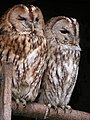 Two Owls.jpg