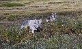 Two wolves (9596244114).jpg