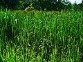 Typha latifolia 001.JPG