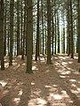 USA Pine forest.jpg