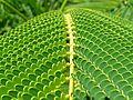 Unidentified fern macro.jpg