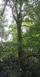 <i>Ulmus</i> Urban Elm cultivar