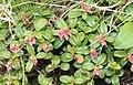 Vaccinium vitis-idaea (bud).JPG