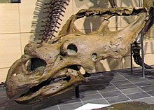 Dinosaur skull with a large beak and neck-frill