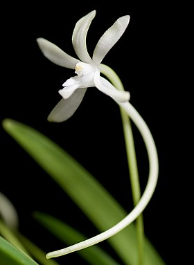 Vanda falcata (Thunb.) Beer, Prakt. Stud. Orchid. 317 (1854) (40719131200) - cropped.jpg