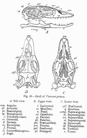 Desert monitor - Skull of Varanus griseus