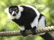 lemurs Animals Similar to the Monkey