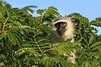 Vervet monkey (Chlorocebus pygerythrus).jpg