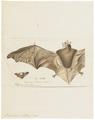 Vespertilio nattereri - 1700-1880 - Print - Iconographia Zoologica - Special Collections University of Amsterdam - UBA01 IZ20800195.tif