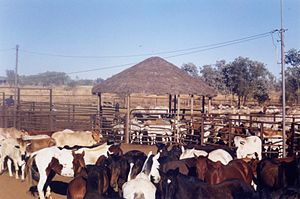 Station (Australian agriculture) - Cattle and horses in stockyards at Victoria River Downs Station circa 1985