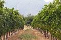 Vignes conduites en hautain à Stellenbosch.jpg