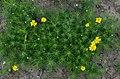 Viguiera stenoloba (homeredwardprice) 002.jpg