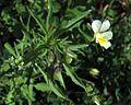 Viola arvensis PID1953-1.jpg