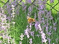 Violet flowers 2007 and a orange-brown butterfly 2.JPG