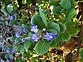 Vitex trifolia subsp. litoralis (5187960581).jpg