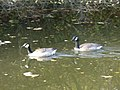 Walsall Canal - Wednesbury - Canada geese (26768908119).jpg