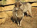 Warthogs at Louisville Zoo 3.jpg