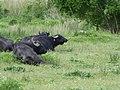 Wasserbüffel im Naturschutzgebiet Schönerlinder Teiche, Brandenburg 2020 01.jpg