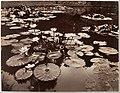 Water Lilies MET DP124774.jpg