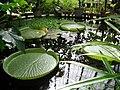 Water lilies - Copenhagen Botanical Gardens.jpg