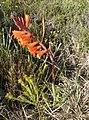 Watsonia laccata 15529042.jpg