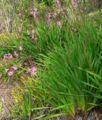Watsonia pyramidata 1.jpg