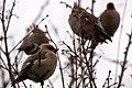 Waxwings - Milton Keynes 2011 (5402436406).jpg