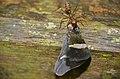 Weaver Ant (Oecophylla smaragdina) with planthopper prey (Ricania sp.) (23171280342).jpg