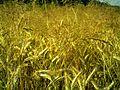 Weizen - panoramio (2).jpg