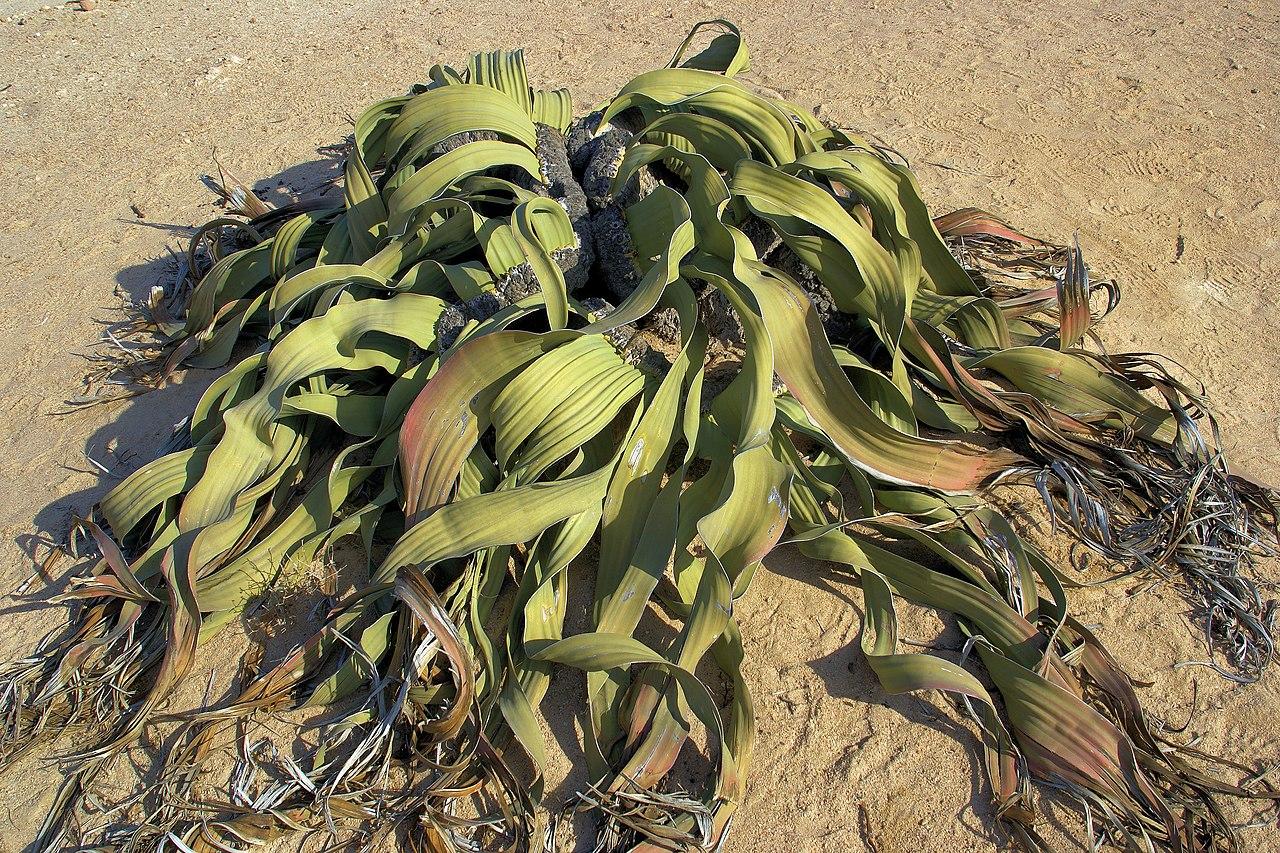 piante rare, una Welwitschia mirabilis adulta, deserto del Namib, Namibia, descrizione su... dans PIANTE RARE 1280px-Welwitschia_mirabilis