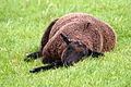 Wesselburenerkoog auch ein schwarzes schaf braucht pause 11.05.2012 11-45-31.jpg