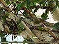 Western Crowned Warbler (Phylloscopus occipitalis) (28781672540).jpg