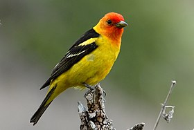 Western Tanager (5658300604).jpg