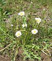 White-dandelions-all.jpg