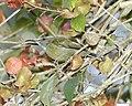 White-flanked Sunbird (Aethopyga eximia) - Flickr - Lip Kee (2).jpg