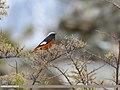 White-winged Redstart (Phoenicurus erythrogastrus) (39212347685).jpg