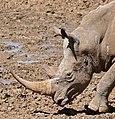 White Rhino (Ceratotherium simum) coming to drink ... (32706625560).jpg