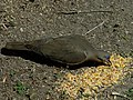 White Winged Dove Eating Seed.jpg