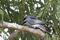 White bellied cuckoo shrike 2 (14970264586).jpg