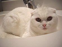 Scottish fold de color blanco.