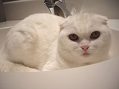 White scottishfold.jpg