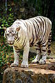 White tiger in vandaloor zoo.JPG