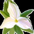 Whitetrillium-ontario.png