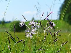 Widdumer Weiher Dianthus superbus.jpg
