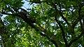 Wiewiórka-Eichhörnchen - panoramio (2).jpg