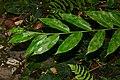 Wild Ginger (Globba sp.) (22868693163).jpg