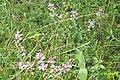 Wild thyme, Heiterwanger See (15790062232).jpg
