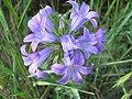 Wildflower Bluebell Bosnia.JPG