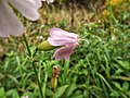 Wildflower with calyx (29459065674).jpg