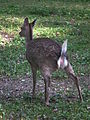Wildpark Rheingönheim Sikahirsch-Kuh.JPG